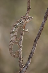 spiny backed chameleon