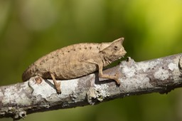 brown leaf chameleon