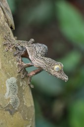 common leaf tailed gecko