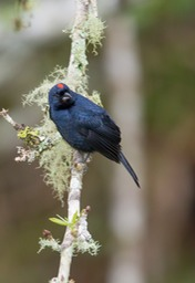 ruby crowned tanager