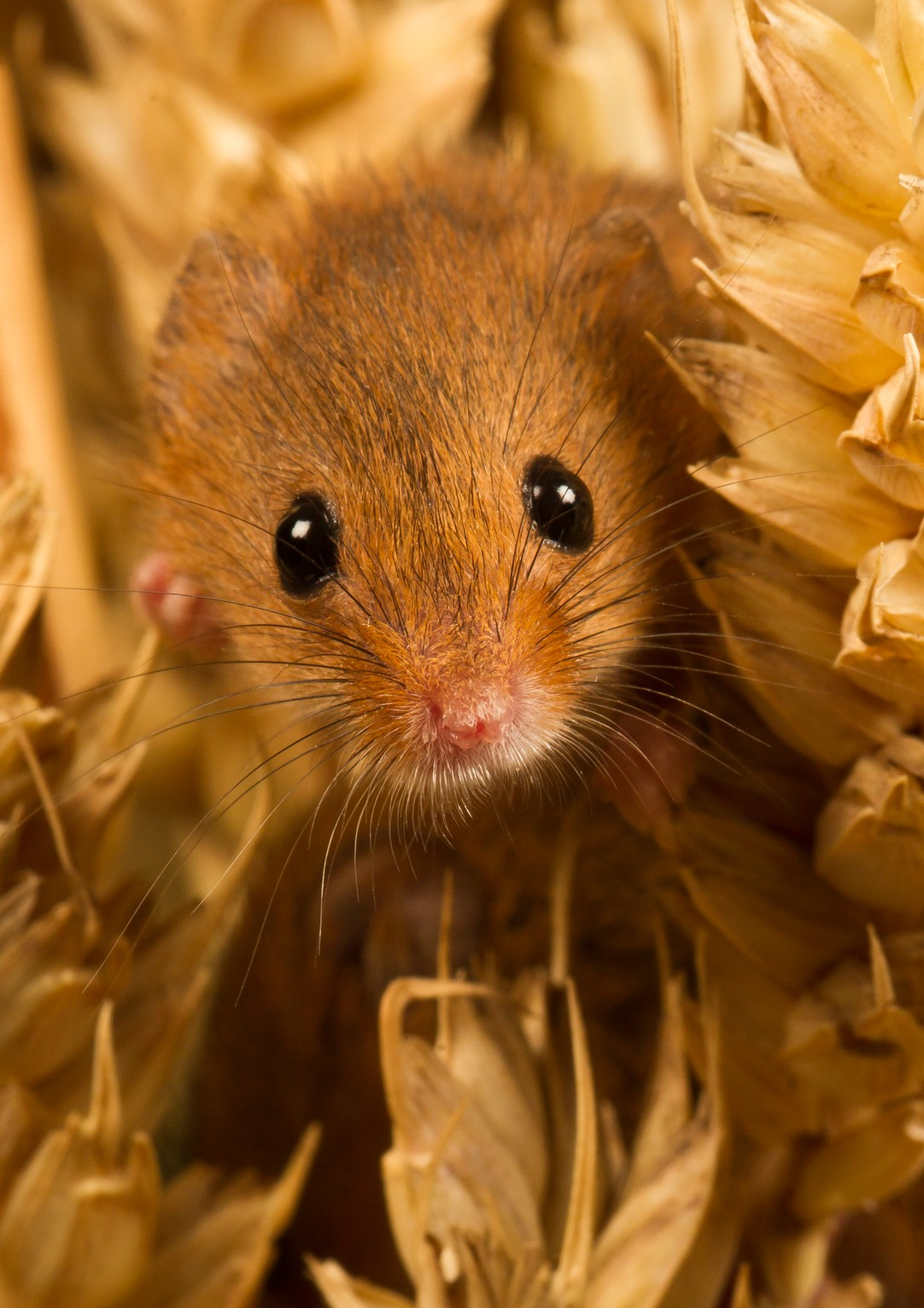 Mice Shrews Amp Voles Wildlife Photography Paul Gadd