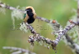 burnished buff tanager