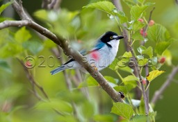hooded tanager