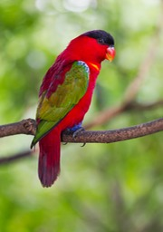 yellow bibbed lorikeet