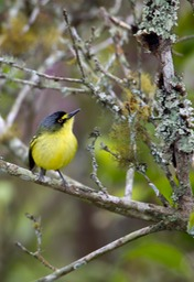 yellow lored tody flycatcher