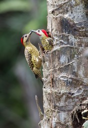 green barred woodpecker