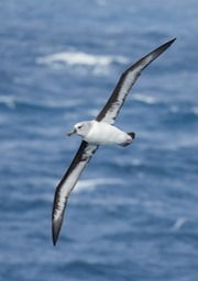 grey headed albatross