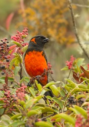scarlet bellied mountain tanager
