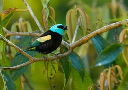 blue necked tanager