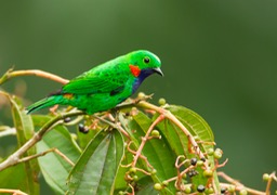 orange eared tanager