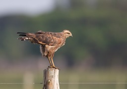 savannah hawk
