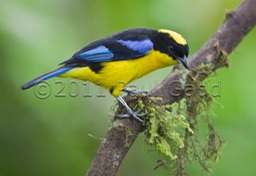 blue shouldered mountain tanager