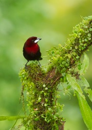 silver beaked tanager