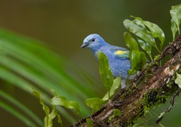 golden chevroned tanager