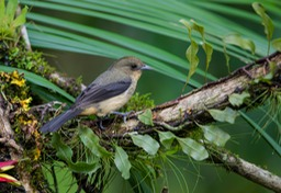 black goggled tanager