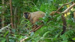 red collared lemur