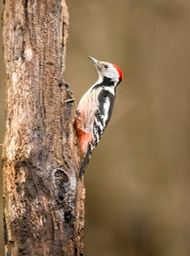 middle spotted wood pecker