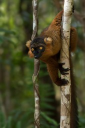 crowned - black hybrid lemur