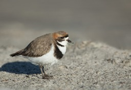two banded plover