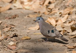 blue spotted ground dove