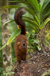 crowned - black lemur hybrid
