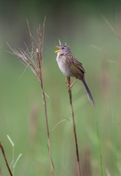 wedge tailed grass finch