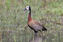 white faced whistling duck