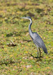 black necked heron