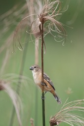 chestnut bellied seedeater