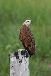 black collared hawk