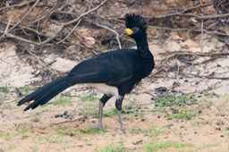 bare faced curassow