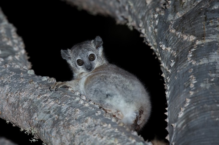 white footed sportive lemur