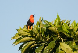red headed blackbird