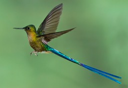 violet tailed sylph