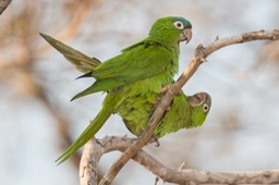 grey capped parakeet