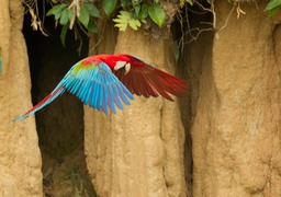 red and green macaw